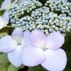 花を撮り出したら初老だよなぁとか思いながら、紫陽花。